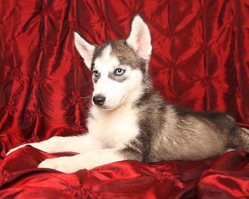 adoptar cachorro de husky siberiano