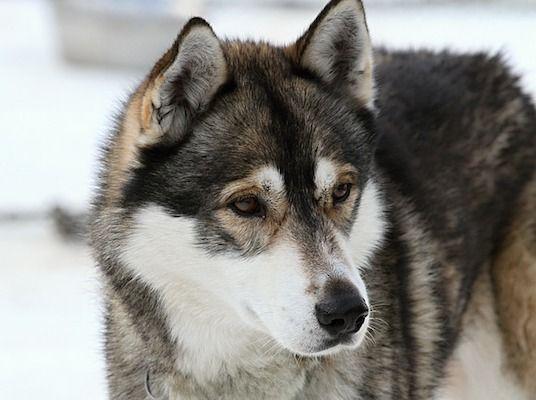 Caracter y temperamento del husky