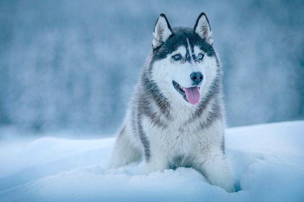 Características que debes conocer del husky siberiano