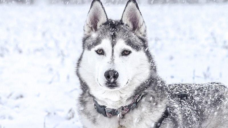 Caracteristicas del husky siberiano