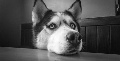 Cómo alimentar un husky siberiano