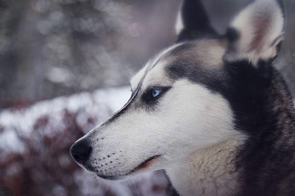 Husky siberiano salud y esperanza de vida