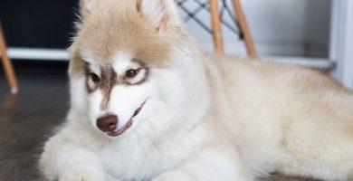 Cuidados del husky siberiano