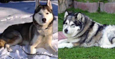 husky vs malamute