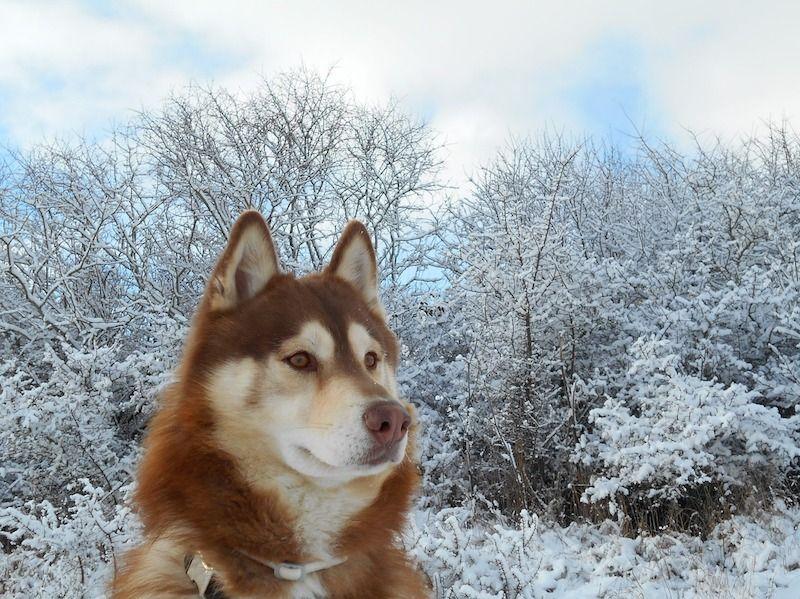 Perro Husky Siberiano Rojo