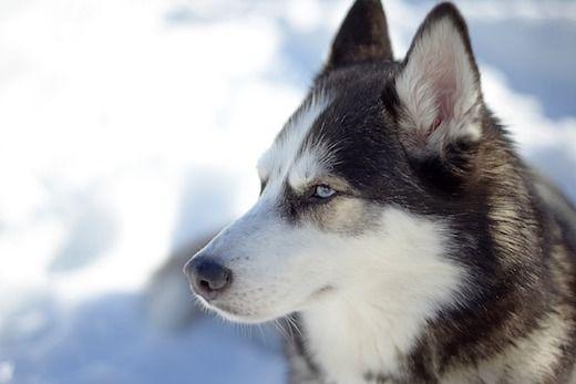 habitat del husky siberiano