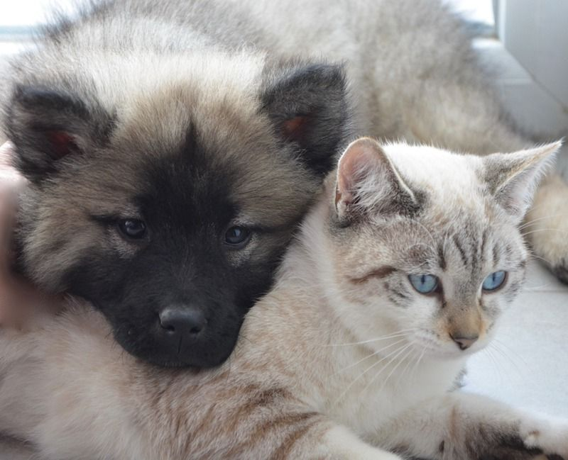 Husky siberiano y gatos, como convivir