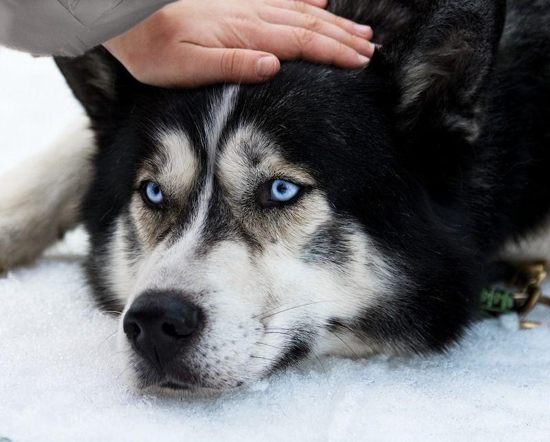 husky siberiano, colores de los ojos