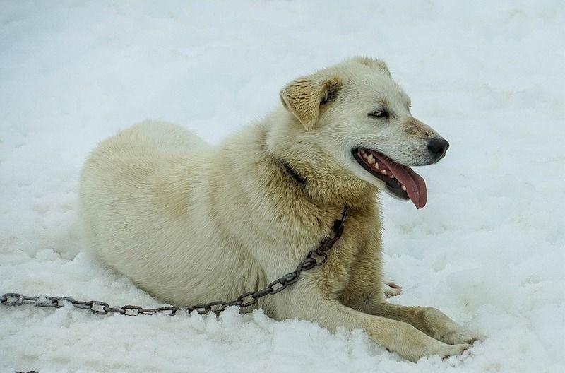 Husky de Alaska