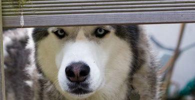 husky siberiano, una gran raza de perros